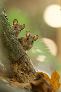 Forest Animals, Nature Animals, Woodland Animals, Animals And Pets, Funny Animals, Woodland Creatures, Cute Creatures, Vida Natural, Pet Mice