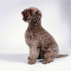 Lagotto Romagnolo Dog