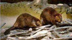 """Image copyright                  Getty Images                  Image caption                                      Los castores llegaron a Tierra de Fuego de América del Norte en los años 40.                                Se trata de una situación que, según las autoridades competentes, esta """"fuera de control"""". Los castores llegaron por primera vez"""