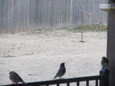 Eastern bluebirds waiting for dinner