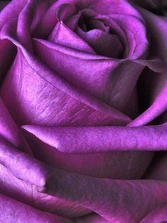 2 by whackeyjackie flowers violet Purple Rose. 2 by whackeyjackie on DeviantArt Purple Love, Purple Lilac, All Things Purple, Shades Of Purple, Magenta, Beautiful Roses, Purple Flowers, Pink Roses, Beautiful Flowers