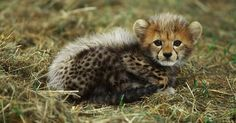 Looking for Cheetah photos? View all of Arkive's Cheetah photos - Acinonyx jubatus Pumas, Big Cats, Cool Cats, Cheetah Pictures, Baby Animals, Cute Animals, Wild Animals, Baby Cheetahs, Cheetah Cubs