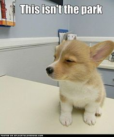 Skeptical corgi- dam, you got me here for something other then playing with balls