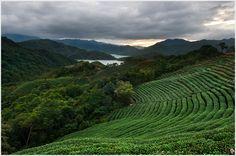 Tea fields in Ba Gua Mountain