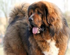 """The breed is commonly referred to as the """"Mastiff"""". Also known as the English Mastiff this giant dog breed gets known for its splendid, good nature. Mastiff Breeds, Mastiff Puppies, Giant Dog Breeds, Giant Dogs, Most Expensive Dog, Belgian Malinois Dog, Fierce Animals, Tibetan Mastiff, War Dogs"""