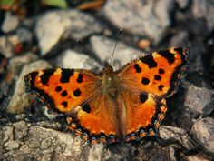 california tortoiseshell butterfly - Google Search