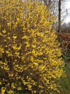 Vores Forsythia er nu rigtigt kommet i blomst. Blomsterne ses allerede før løvspring og dermed rigtig tegn på at foråret er på vej.