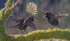 Two starlings on squabbling over food whilst stood on a mossy perch. They have their wings out and beaks open on 3 February 2015.