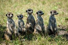Meet the Family! The affordable meerkat experience is here. Get in touch for more details at info@lelobusafaris.com