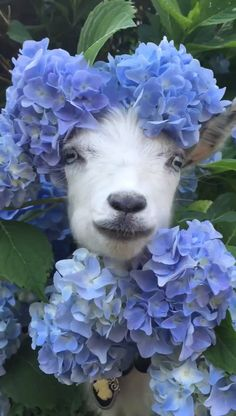 A goat munching on hydrangeas - Cutest Baby Animals Funny Animal Videos, Cute Funny Animals, Funny Animal Pictures, Animal Memes, Cute Baby Animals, Animals And Pets, Funny Cats, Beautiful Creatures, Animals Beautiful