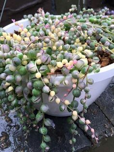 100 pcs Variegated String of Pearls seeds, Variegated String of Beads, Tricolor Pearls   Product Type: Bonsai Cultivating Difficulty Degree: Very Easy Use: Indoor Plants Flowerpot: Excluded Classification: Novel Plant Model Number: Pearl Chlorophytum Full-bloom Period: Autumn Applicable