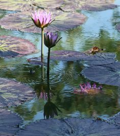 Pink Water Lilies Painting - Ripples And Pink Lilies by John Lautermilch Water Lilies Painting, Lily Painting, Dream Painting, Flower Painting Canvas, Spring Flowers, Lotus Flowers, Lily Garden, Spring Pictures, Water Art