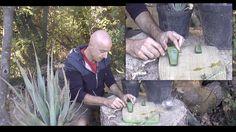 Vous avez des aloès (Aloe vera) au jardin ? Voici comment récupérer le gel d'aloe vera d'une manière simple et rapide sans matériel sophistiqué.