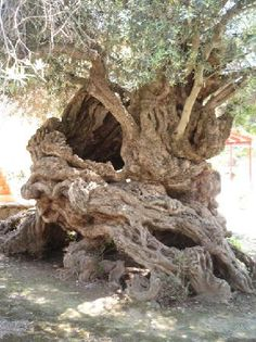 Oldest Olive Tree aged between 3,500 - 5,000 years old at Vouves - West Crete Creta, Olivier, Olive Tree, Tree Trunks, Nature Sauvage, Weird Trees, Unique Trees, Tree Art, Old Trees