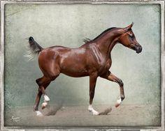 Ferrari Bey, The Sequel RCA x Pom Pay Bey, bay Arabian colt