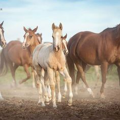 All those pretty horses   Foal pictures seem to be your favorite ones... Good thing I have so many more for you to come  . . ©️️️ Tanja Schneider Photography #equine #horse #quarterhorse #americanquarterhorse #aqha @officialaqha #aqhaproud #aqhafoals #youholdmyheart #foal #fohlen #palomino #equinephotography #pferdefotografie #horsephotography #canoncanada @canoncanada #alberta #yyc #calgary #bestofequines #pferdeschoenheiten #pferdefreunde_post #countrylif