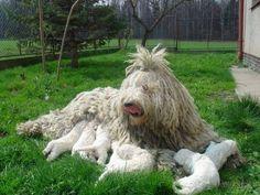 Komondor (magyar pásztorkutya): történelem, megjelenés, a természet és a fajta jellemzői (+ fotók)