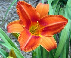 Daylily Alabama Jubilee Taking spring orders by ommat on Etsy, $9.00