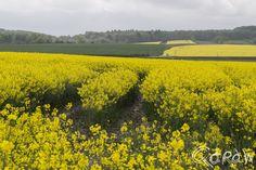 Rosendahl (Nordrhein Westfalen) ; Raapzaad - Koolzaad.koolzaad | foto 5 http://blog.qdraw.nl/europa/rosendahl-nordrhein-westfalen/