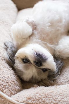 The Shih Tzu was bred as royal lap dog, but they're happy to treat you like royalty, too! Here are a few great names for Shih Tzu dogs if you happen to be bringing home a new friend from the shelter. Perro Shih Tzu, Shih Tzu Hund, Shih Tzu Puppy, Shih Tzus, Cute Puppies, Cute Dogs, Dogs And Puppies, Doggies, Shitzu Puppies