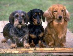Variedades de Perros Salchichas, Dachshund, Teckel o Dacke