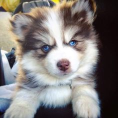I heard you all like Pomsky puppies, so let's break the Internet together. Reddit, meet Kairi! - Imgur