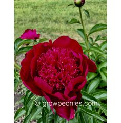 (Krekler/R. Klehm, An unusual color for peonies, this plant has a slight fragrance and reaches tall. Buy Peonies, Peony, Countryside, Bloom, Gardens, Rose, Flowers, Plants, Pink
