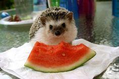 Hedgehog eating watermelon