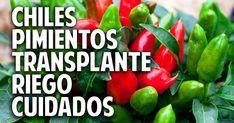 Cosas del Jardin: Como transplantar pimientos y chile, muy important...