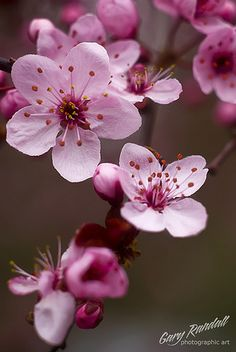 "tinnacriss: ""DSC_5515-2 by Gary Randall Flowering plum blossoms in Welches, Oregon """
