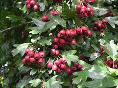 10 best plants for hedges -- Crataegus monogyna  (2)