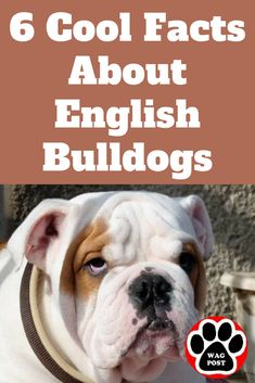 Find Out More On The Dignified Bulldog Puppies Health Bulldog Names, Boxer Bulldog, Puppy Names, Baby Bulldogs, French Bulldogs, Baby Pugs, Baby Puppies, Corgi Puppies, Terrier Puppies