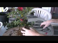 ▶ How To Create an Azalea Bonsai From a Nursery Plant - YouTube
