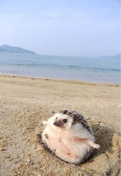 Just a cute hedgehog at the seaside