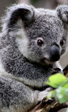 In the summer, the koalas in our garden love being sprayed with the garden hose beacause it gets quite hot for them. #koalas #australia #adelaide