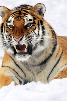 Free download of this photo: https://www.pexels.com/photo/photo-of-tiger-showing-his-fangs-while-lying-on-white-surface-40661/ #snow #nature #pattern