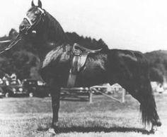 Cornwallis, Morgan stallion  by Sealect  Ethan Allen & Cushings Green Mountain