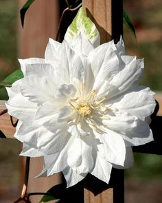 12 Night Garden Plants - Clematis 'Duchess of Edinburgh' Planting Bulbs, Plants, Beautiful Flowers, Showy Flowers, Moon Garden, Garden Vines, Clematis, Night Garden, White Plants