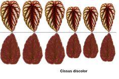 Feuilles de cissus discolor, recto verso