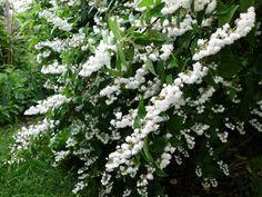 Deutzia scabra 'Plena' Garden Inspiration, Garden Ideas, Back Gardens, Shrubs, Yard, Plants, Gardening, Future, Decor