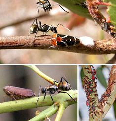 normally meat-ants are vicious and territorial, however they make exceptions for other creatures of the trees and skies that secrete substances that they can feed on, not only do they leave these partners alone but actively protect them from predators