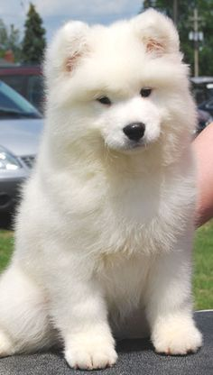 Samoyed puppy grew up with this fluffy thing and the tuppos xx