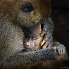 With Mom.  Baboons in Cabarceno, Spain.  by Marina Cano.