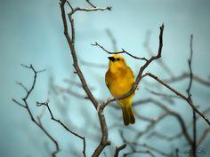 Canary by Rodrigo Cornejo on 500px