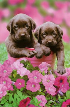 Chocolate Labrador puppies in a pink bucket with pink flowers.