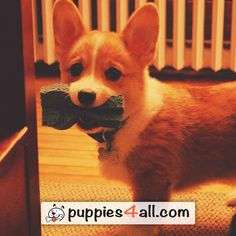 Find your adorable puppy here: http://puppies4all.com/ #dog #cute #puppy