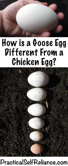 How is a Goose Egg Different from a Chicken Egg - Cooking with Goose Eggs and Substitution Guide