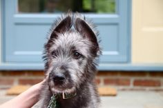 These scruffy-looking dogs may be one of the biggest breeds in the world, but don't let their appearance intimidate you! Despite the breed's beginnings as a Celtic war dog, modern Wolfhounds are as loveable as they are tall, Irish Wolfhound Puppies, Irish Wolfhounds, Scruffy Dogs, Samoyed Dogs, War Dogs, Dog Lady, Irish Setter, Dog Pictures, Animal Pictures