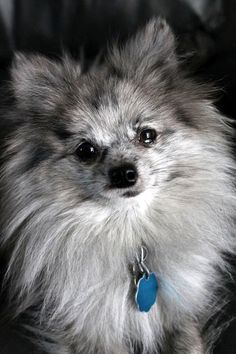 POMERANIAN Dog Puppy Quality Chrome Keyring Picture Both Sides