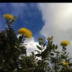 Yellow Ohia, native Hawaiian tree.
